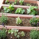野菜やハーブやお花の苗